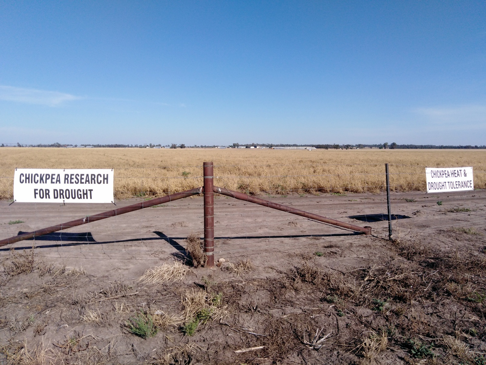 Chickpea drought research Narrabri