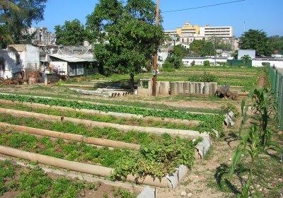 Urban organic agriculture in Havana
