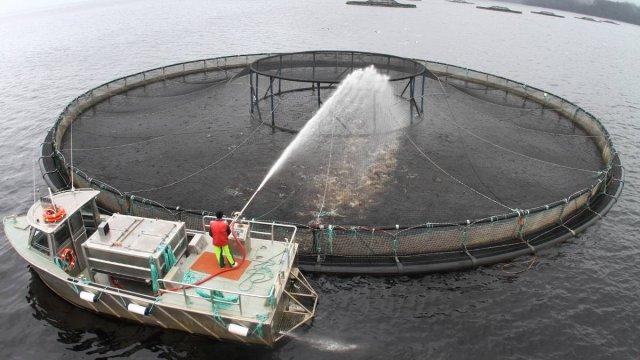 Something fishy about tasmania 39 s salmon farming green for Criadero de pescado