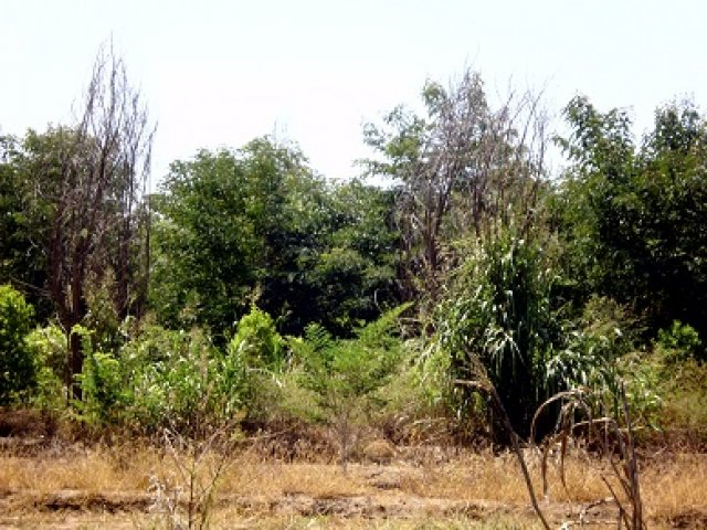 Sandalwood plantations a disaster for the Ord River | Green Left Weekly
